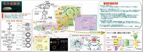 光合成細菌の光合成メカニズム